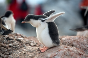 "Gentoo baby, trying his ""wings"", he doesn't know they can't fly"