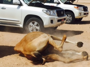 camel in dirt