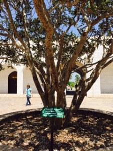 frankinsense tree