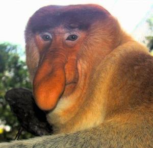 Portrait_of_a_Proboscis_Monkey1