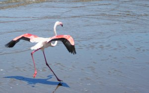 Flamingo-take-off