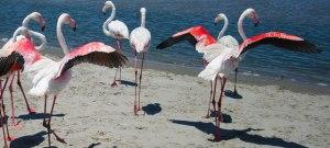 two-flamingos
